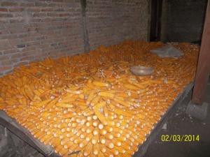 Gb. Salah satu jagung hasil  panen petani